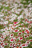 Coreopsis rosea - Sweet Dreams. Vertical photo of a field of coreopsis rosea - Sweet Dreams Royalty Free Stock Image