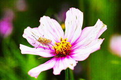 The coreopsis and shieldbug. A beautiful coreopsis flower of pink royalty free stock photos