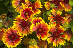 The Coreopsis Species in Switzerland Stock Photos