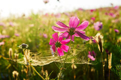 Coreopsis and spider web Royalty Free Stock Image