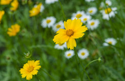 Coreopsis in summer garden Royalty Free Stock Photo