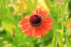 Coreopsis or Tickseed flower stock photo