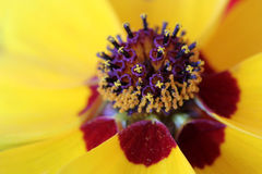 Coreopsis tinctoria flower detail Royalty Free Stock Images