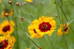 Coreopsis tinctoria flowers Royalty Free Stock Images