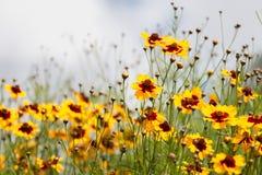 Coreopsis tinctoria flowers Stock Image
