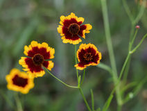Coreopsis tinctoria Nutt in red and yellow colors Stock Image
