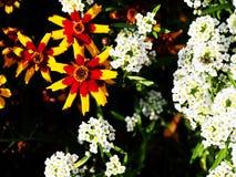 Coreopsis tinctoria ogród tickseed - równiny coreopsis - zdjęcie stock