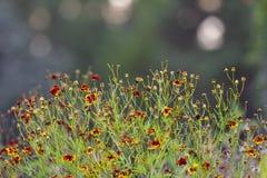 Coreopsis tinctoria piękny lily kwiat który kwitnie po środku lata zdjęcia royalty free