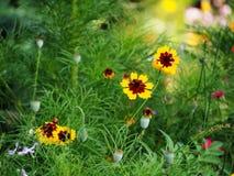 Coreopsis tinctoria - plains coreopsis - garden tickseed Royalty Free Stock Photos