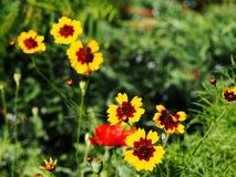 Coreopsis tinctoria - plains coreopsis - garden tickseed Royalty Free Stock Photo