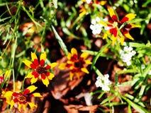 Coreopsis tinctoria - plains coreopsis - garden tickseed Stock Photos