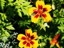 Coreopsis tinctoria - plains coreopsis - garden tickseed Stock Images