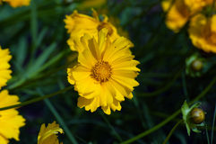 Coreopsis Royalty Free Stock Photography