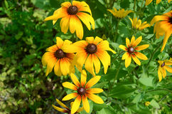Coreopsis Royalty Free Stock Images