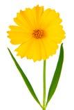 coreopsisferulifoliaen blommar latin Royaltyfria Bilder