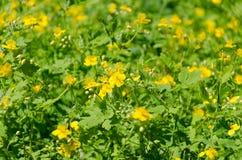Coreopsisgranduflora royalty-vrije stock fotografie