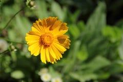 Coreopsislanceolata Royaltyfria Bilder