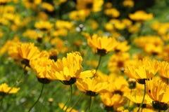 Coreopsislanceolata Royaltyfri Foto