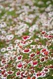 Coreopsisrosea - Zoete Dromen royalty-vrije stock afbeelding