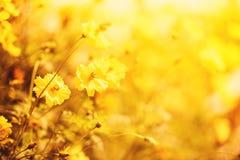 Cores amarelas do outono do calendula da planta do amarelo do fundo do borrão do campo de flor da natureza bonitas no jardim foto de stock royalty free