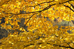 Cores amarelas do outono em tokyo Fotografia de Stock