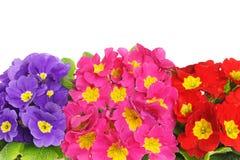 Cores bonitas de flores da prímula Fotografia de Stock Royalty Free