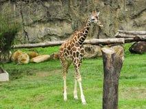 cores bonitas deste girafa na linha central do café foto de stock royalty free