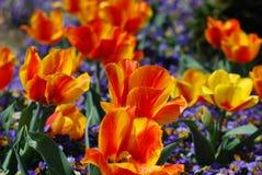 Cores brilhantes em Tulip Garden Flowering e em uma florescência foto de stock