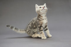Cores britânicas pequenas do cinza do gatinho Imagem de Stock