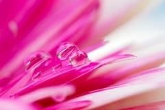 Cores consideravelmente cor-de-rosa da margarida em gotas da água Fotografia de Stock Royalty Free