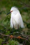 Cores da criação de animais do Egret nevado Foto de Stock