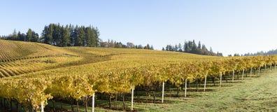 Cores da manhã da queda dos vinhedos no vale meados de Willamette, Marion County, Oregon ocidental Imagens de Stock Royalty Free