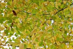 Cores da queda da árvore do Hornbeam Foto de Stock Royalty Free