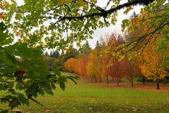 Cores da queda de árvores de bordo Fotografia de Stock