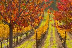 Cores da queda no campo da uva imagens de stock