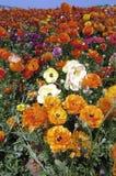 Cores de campo da flor Fotografia de Stock Royalty Free