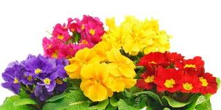 Cores de flores da prímula Imagens de Stock Royalty Free