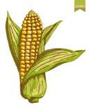 Cores de milho Imagem de Stock