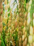 Cores do arroz imagens de stock