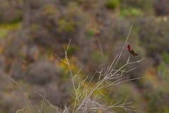 Cores do colibri Imagem de Stock