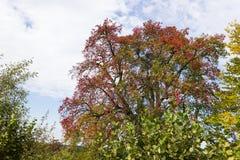Cores do verão de Autumn September Indian das folhas e das árvores em um b Foto de Stock
