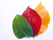 Cores em mudança das folhas da queda que mostram vermelho e amarelo verdes Fotos de Stock