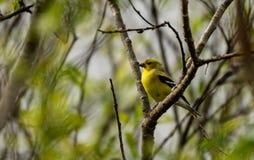 Cores fêmeas da criação de animais do passarinho americano do ouro Fotografia de Stock Royalty Free