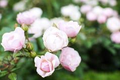 Cores macias das rosas de arbusto Imagem de Stock Royalty Free