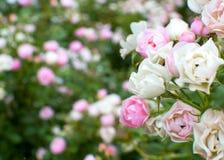 Cores macias das rosas de arbusto Fotografia de Stock