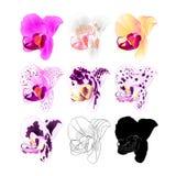 Cores naturais, esboço do Phalaenopsis da orquídea várias, silhueta, flor quarta em um illus editável do vetor branco do vintage  Fotos de Stock