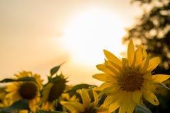 Cores quentes e mornas e máscaras de paisagens bonitas de Rússia na região de Rostov Campos locais de girassóis amarelos de flore fotos de stock royalty free