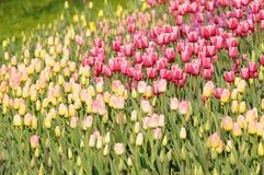 Cores variadas das tulipas no canteiro de flores Grandes botões das tulipas Fotos de Stock Royalty Free