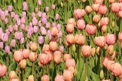 Cores variadas das tulipas no canteiro de flores Grandes botões das tulipas Imagens de Stock Royalty Free