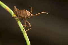 Coreus marginatus Royalty Free Stock Images